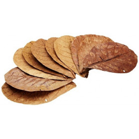 """Leaves of tropical almond (TERMINALIA CATAPPA) """"BEST QUALITY"""""""
