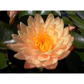 Ninfea Rustica colore Arancione - Per Laghetto o Stagno